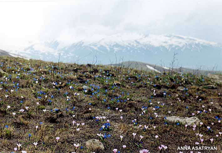 The spring on the summit of Arailer (Merendera trigyna and Scilla armena)